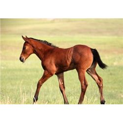 2013 Bay Roan Filly - 2013 Bay Roan AQHA Filly