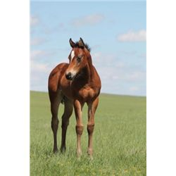 2013 Bay Filly - 2013 Bay AQHA Filly