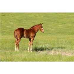 2013 Sorrel Filly - 2013 Sorrel AQHA Filly