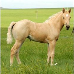 2013 Palomino Filly - 2013 Palomino AQHA Filly