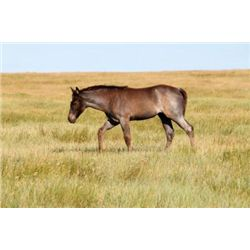 2013 Blue Roan Filly - 2013 Blue Roan AQHA Filly