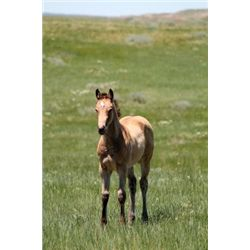 2013 Buckskin Filly - 2013 Buckskin AQHAX Filly