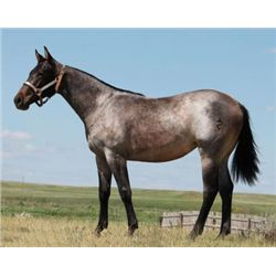 CM Duals Blue Remedy - 2012 Blue Roan AQHA Filly