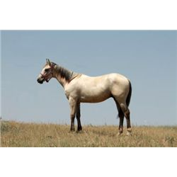 CM Sugar And Shine - 2012 Buckskin AQHA Stud Colt