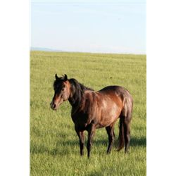 VF Kits An Stones - 2006 Brown AQHA Mare