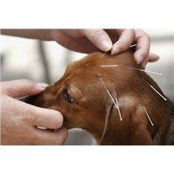 Veterinary Acupuncture Session (Miami)