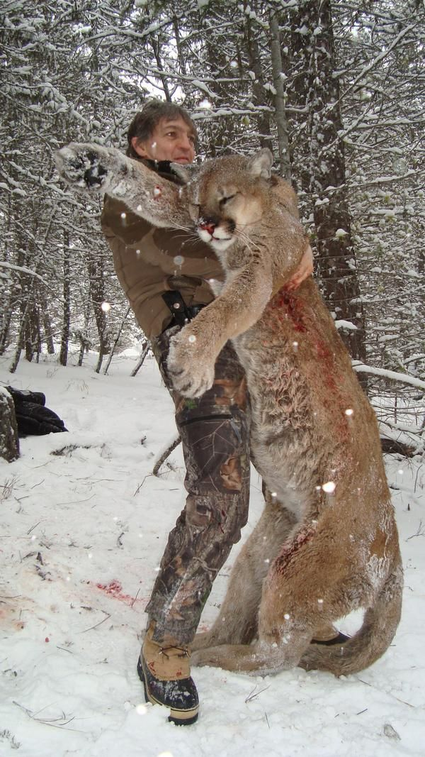 7day british columbia lynx bobcat coyote and wolf hunt