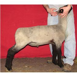Johnson Show Lambs, Allen & Christy Johnson - Wether
