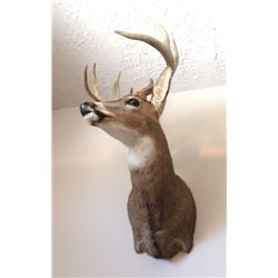 Mounted Trophy Whitetail Buck Head