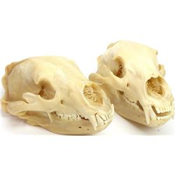 Collection of 2 cleaned bear skulls.