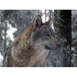 *Alberta – 6 Day – Timber Wolf Hunt and Trap-line Experience for One