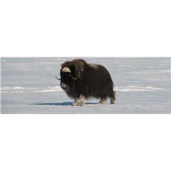 Nunavut – 4 Day – Greenland Musk Ox Hunt for Two Hunters