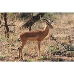 * South Africa – 10 Day – Springbuck, Impala, Fallow Deer and Ostrich Hunt for  One Hunter