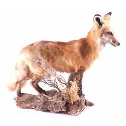 Montana Full Body Fox Taxidermy Mount