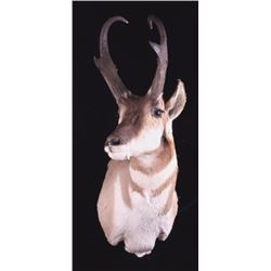 Montana Antelope Shoulder Mount