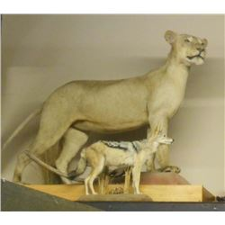 FULL SIZE YOUNG MALE TAXIDERMY LION MOUNTED ON STAND