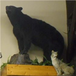 FULL SIZE BLACK BEAR TAXIDERMY MOUNT ON STAND