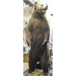 FULL SIZE STANDING BROWN BEAR TAXIDERMY MOUNT WITH STAND