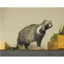 FULL GROWN AFRICAN CIVET TAXIDERMY MOUNT W/ STAND