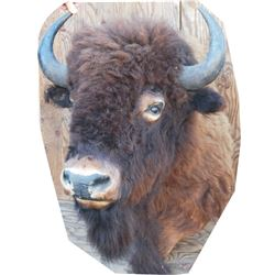 shoulder mount buffalo bull,