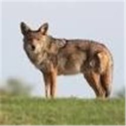 Chowns Bobcat/Coyote for 2