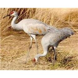 Sand Hill Crane Hunt in Texas for 4 hunters