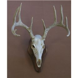 Whitetail or Mule Deer skull cleaning & mounted on walnut plaque taxidermy gift certificate.