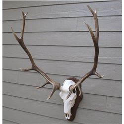 Elk skull cleaning & mounted on plaque taxidermy gift certificate.