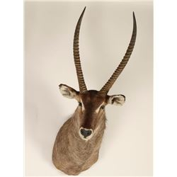 Waterbuck Shoulder Mount