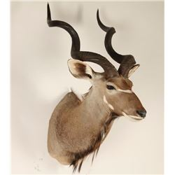 African Kudu Shoulder Mount