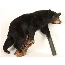 Full Mount Black Bear