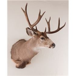 Colorado Mule Deer Shoulder Mount