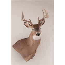 Colorado Whitetail Shoulder Mount