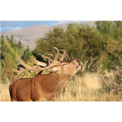 Argentina Red Stag