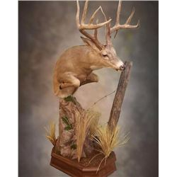 $1500.00 Credit towards Taxidermy #1