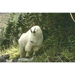 Ten Day Mountain Goat Hunt for One