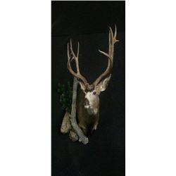 1 Shoulder Mount up to Deer Size with Precision Wildlife Artistry