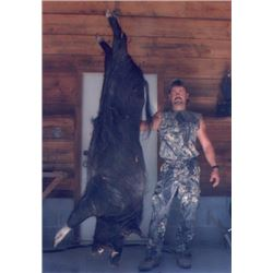 Wild Boar Hunt for 4 Hunters on the Florida Gulf Coast.