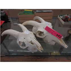 2 Genuine goat skulls