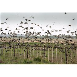 4-Day High Volume Dove Hunt for Six Hunters in Argentina