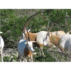 2-day Texas Scimitar Horned Oryx Hunt for One Hunter and One Observer