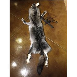 *SILVER WOLF TANNED PELT & 2 LONG SPRING TRAPS*