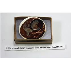 NATURAL CONCH SEASHELL FOSSIL SPECIMEN