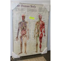 NEW THE HUMAN BODY WALL DISPLAY