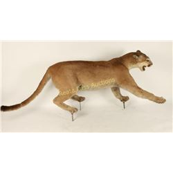 Mountain Lion Full Mount