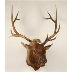 Bull Elk Shoulder Mount