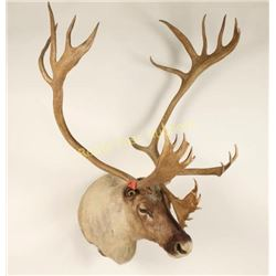 Large Caribou Shoulder Mount