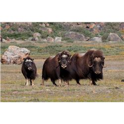 7 - DAY GREENLAND MUSKOX & CENTRAL BARRON GROUND CARIBOU HUNT FOR 1 HUNTER IN GREENLAND