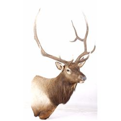 Montana Rocky Mountain Elk Shoulder Mount LARGE