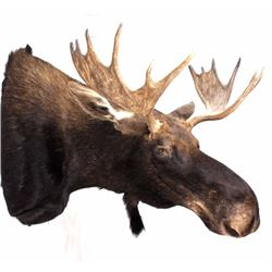 Montana Moose Taxidermy Shoulder Mount